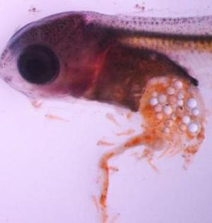 幼年鱼类更喜欢摄食塑料颗粒