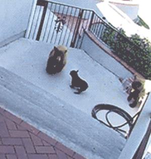 GIF趣图:一只小狗单挑两只大黑熊