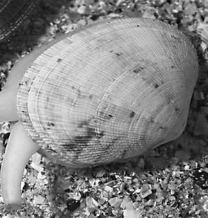 癌症在多种贝类中传染超出预想