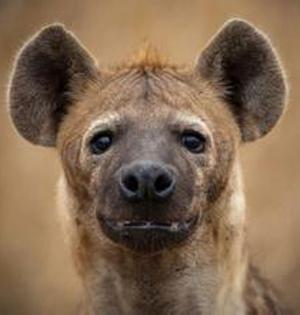 豹子和鬣狗抢食羚羊,结果......