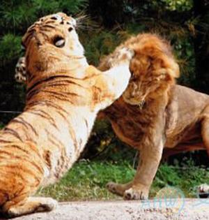 GIF趣图:我压狮子胜
