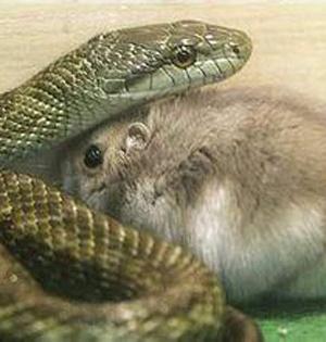 GIF:鼠妈妈与蛇激战救出鼠宝宝
