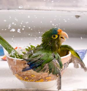 GIF:给鹦鹉洗澡真是很有趣的事情