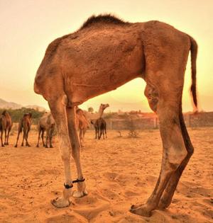 奇妙动物抓拍:骆驼的头没了