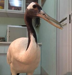 丹顶鹤被装上3D打印钛合金嘴