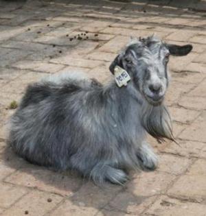 世界首只克隆羊后代健康活到高龄