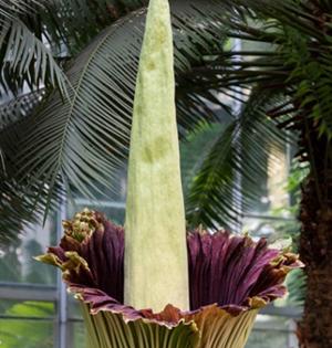 世界最大花朵气味奇葩如腐肉