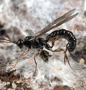寄生蜂将蜘蛛缝蛛丝内:似缝纫机