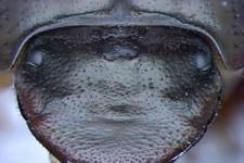 科学家培育三眼蜣螂:头顶长出单个复眼研究动物性状演化