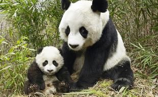 大熊猫由濒危级物种降格为易危级