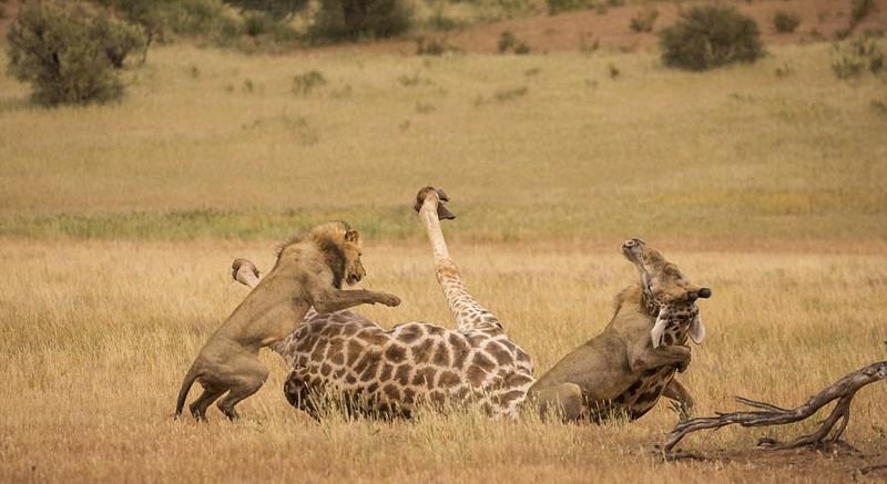 两饿狮跃起飞扑长颈鹿凶猛咬脖