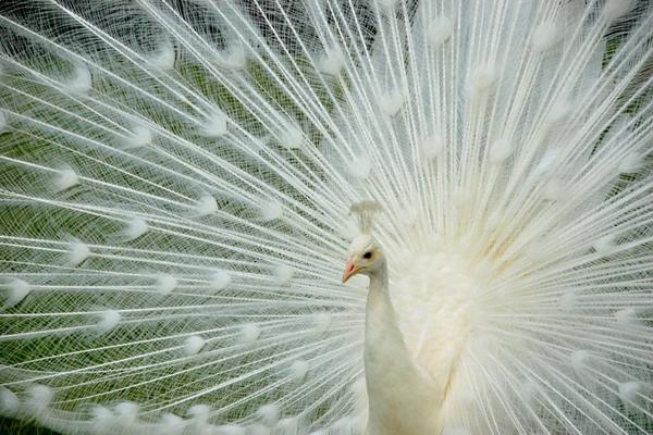 自然界最美的动物 20张美丽夺目的孔雀开屏