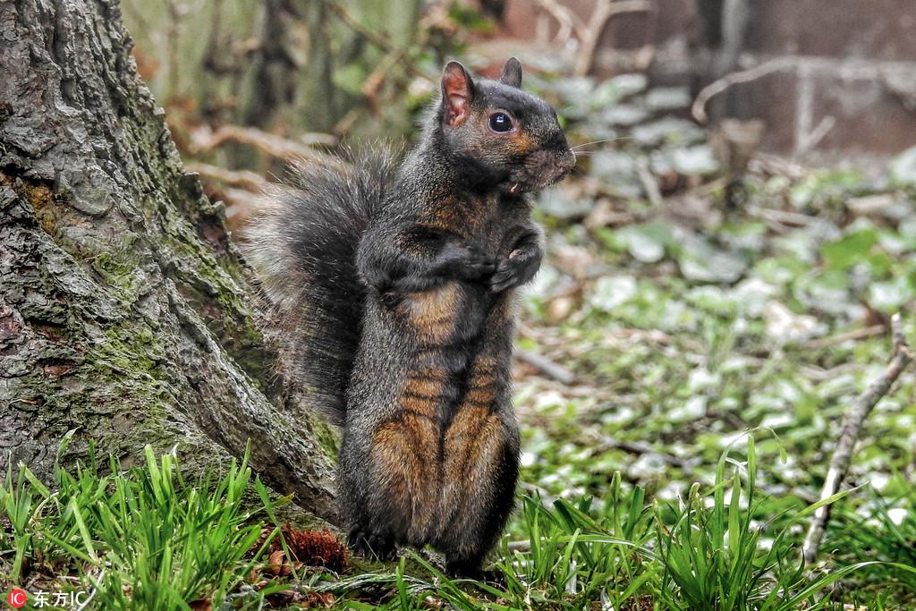 """英国黑松鼠不惧镜头秀八块""""腹肌"""":看我健美的身材"""