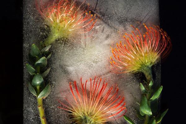 冰冻之花 摄影师如何留住鲜花的美丽