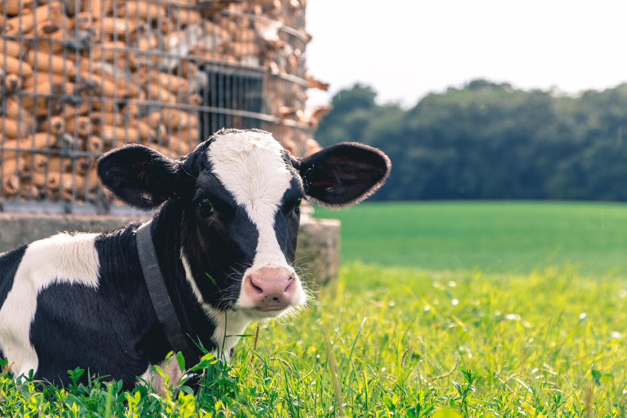 奶牛已经用上了5G 你却连个手机都没有