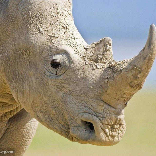 悲了伤的白犀牛
