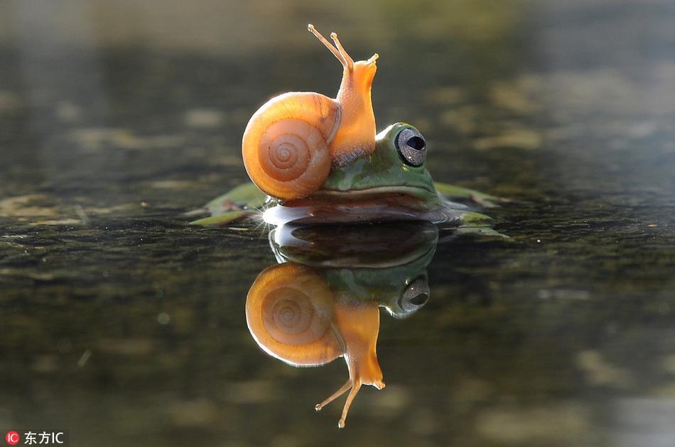 不会游泳的蜗牛端坐在青蛙头上由它驮着自己过河.图片