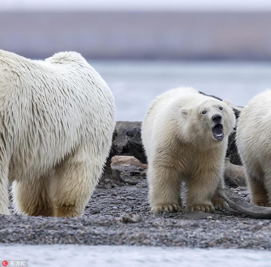 """北极熊战争使出海豚震慑生存""""河东狮吼""""不堪淘气鬼闹腾崽子2妈妈在哪里图片"""