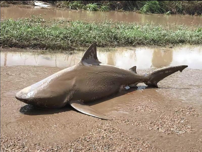澳大利亚遭飓风袭击 鲨鱼被冲上路面