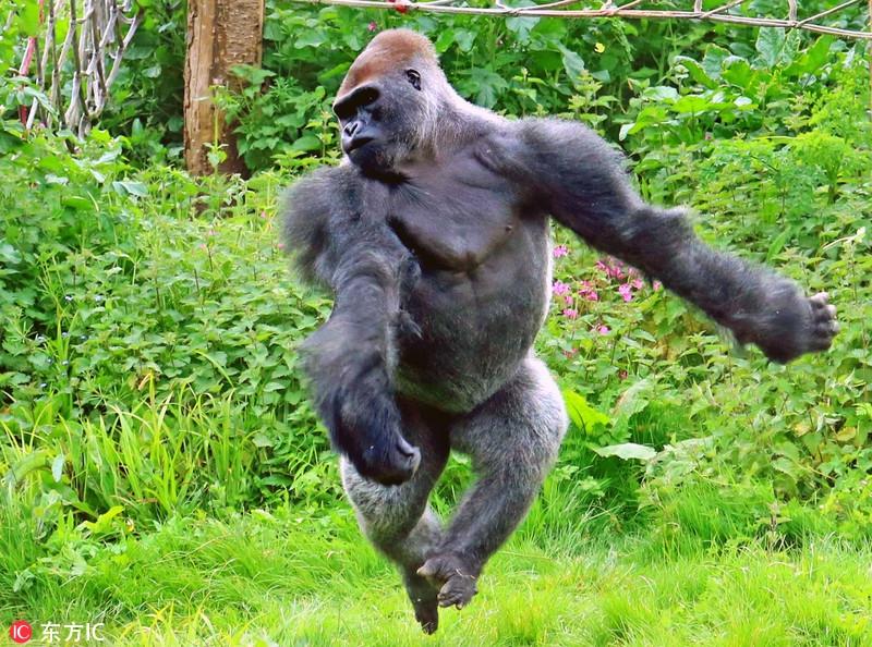 英�yaky��a��(_英大猩猩翩翩起舞:旋转跳跃我闭上眼!