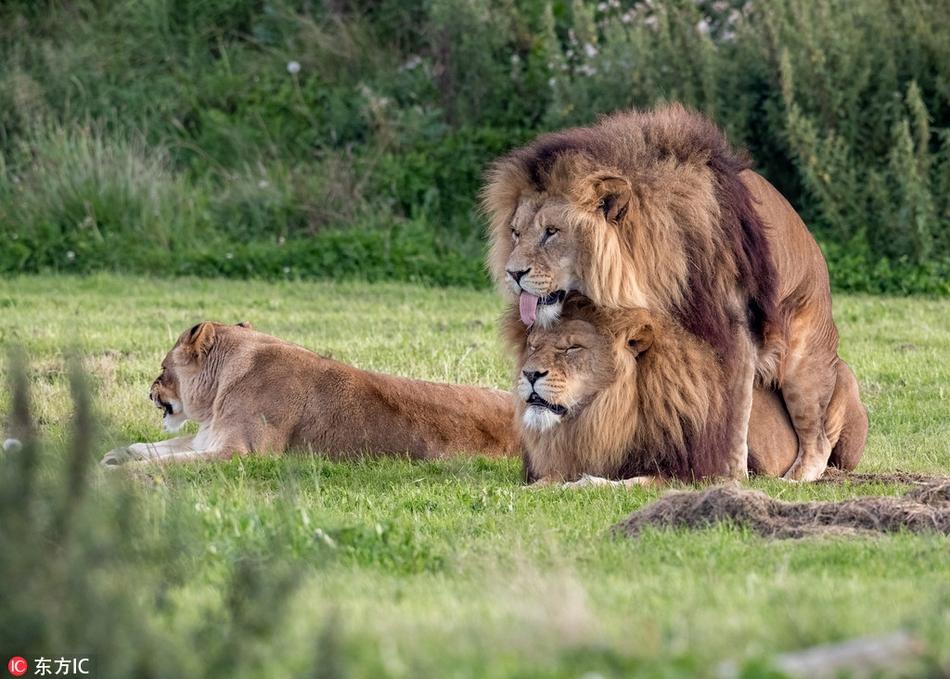 英国两头雄狮同性交配 母狮一旁看热闹