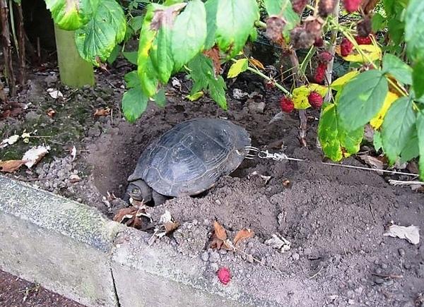 据悉,这只乌龟的龟壳上有一个小孔,一条23英尺(约7米)长的金属图片
