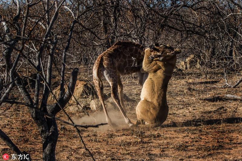 残酷自然法则:看动物猎食厮杀精彩瞬