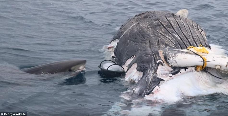 大白鲨的鲸尸大餐:两天后只剩下尾鳍
