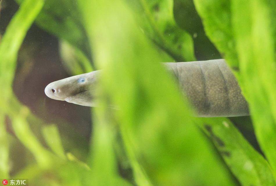 捷克动物园看泅盲游蚓 外形奇异十分罕见
