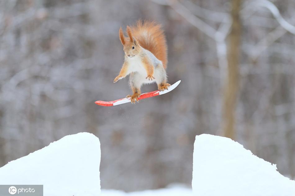 """红松鼠变身""""滑雪高手"""" 雪地中欢乐跳跃太萌了"""