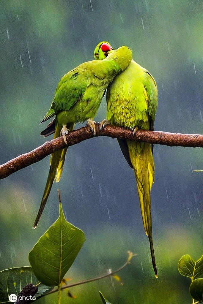 520动物情侣秀恩爱 爱你就要啵啵你!