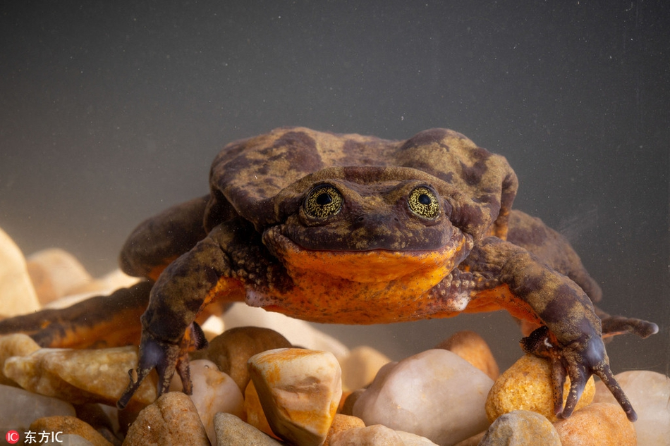 一只蛙的脱单史世界上最孤独青蛙寻爱9年后觅得伴侣