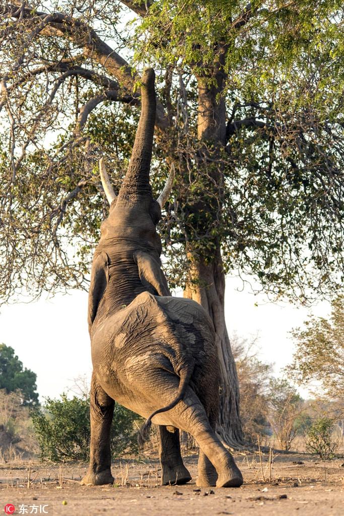 这些庞然大物其实很呆萌!大象脸朝地摔跤公路上做瑜伽图片