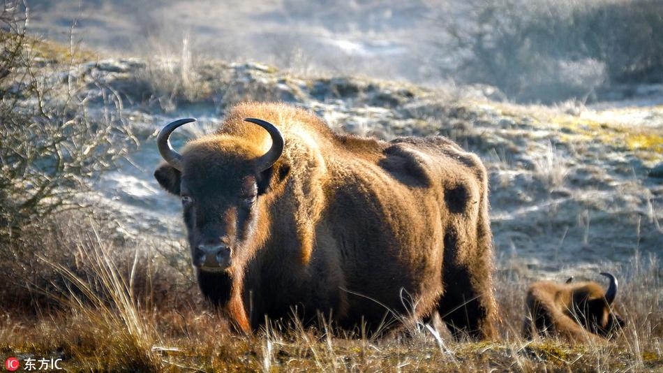 从灭绝到遍布草原:陆地上最大哺乳动物欧洲野牛卷土重来