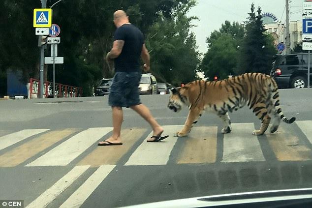 俄凤凰彩票app下载安装上街遛老虎吓坏路人