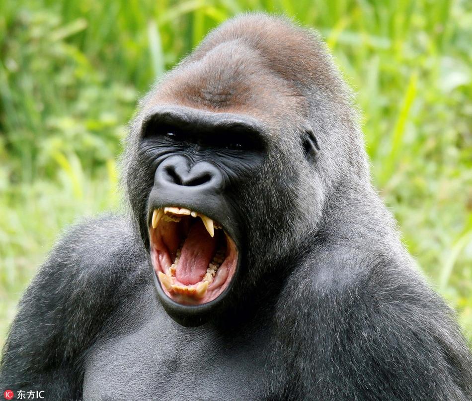 """英动物园大猩猩上演""""微笑恐吓"""" 龇牙咧嘴你怕了吗?"""