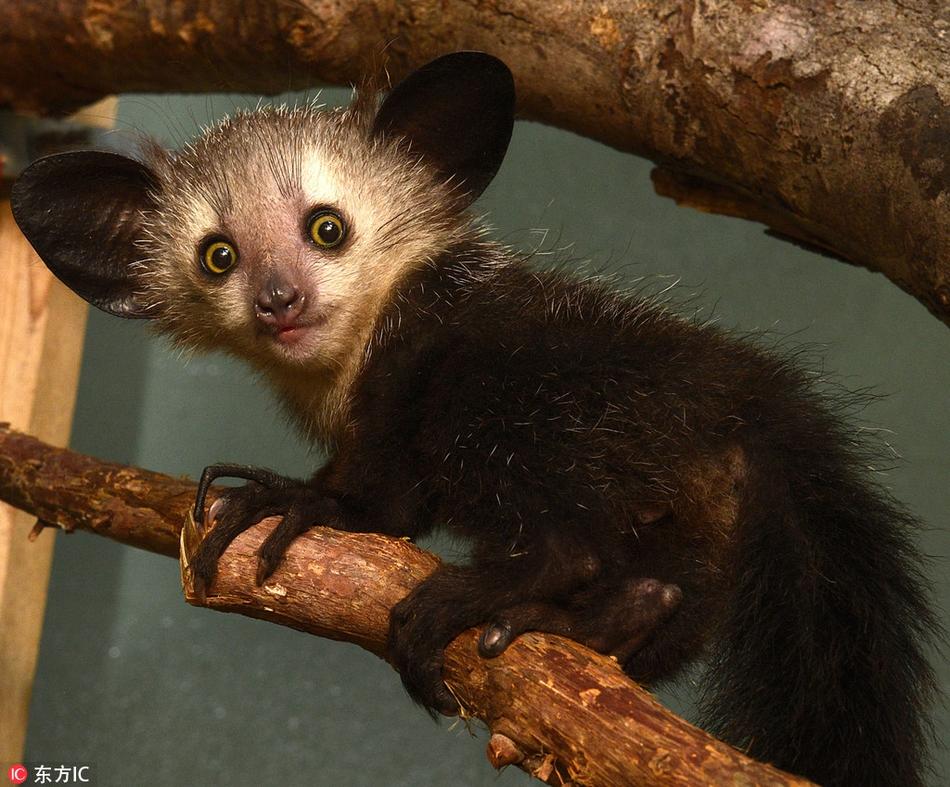 罕见新生指猴萌照:招风大耳超可爱 最稀有哺乳动物之一