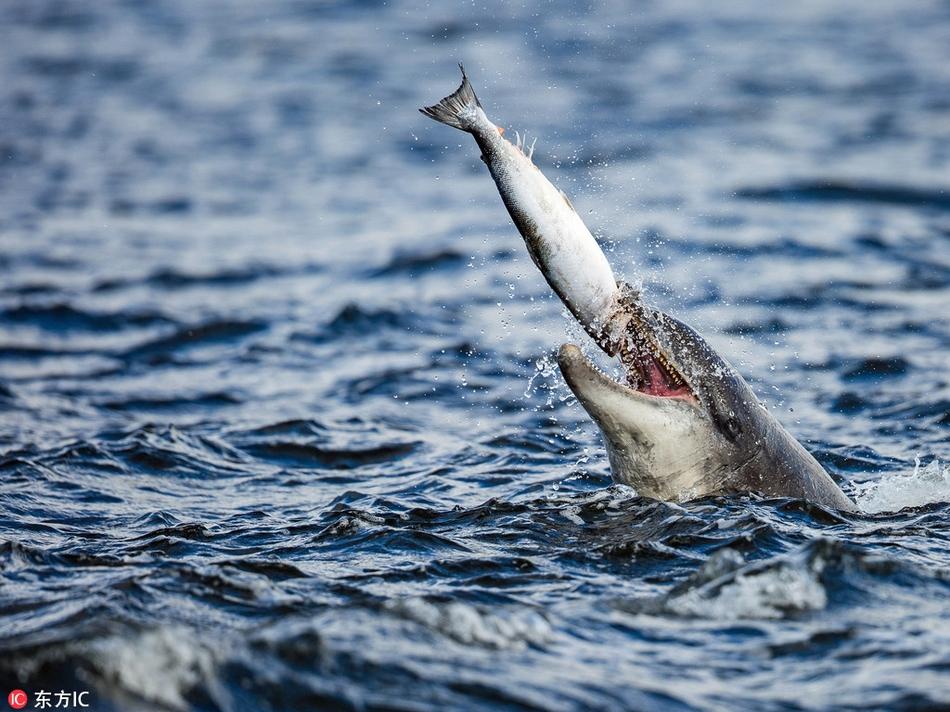 """实拍海豚捕食:饥饿""""美食家""""将三文鱼甩向半空"""