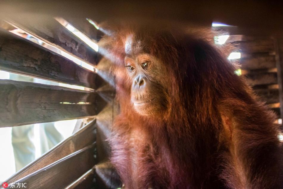 印尼3岁红毛猩猩被囚木箱:无奈的表情令人心酸