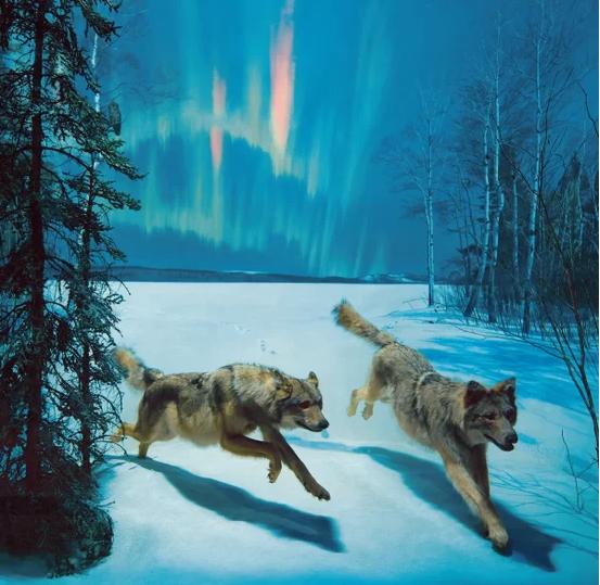 超级逼真的动物标本:极光之夜下奔跑