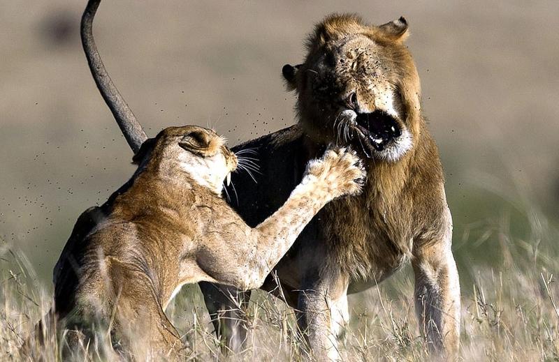 妻管严!肯尼亚雄狮求爱不成反遭雌狮