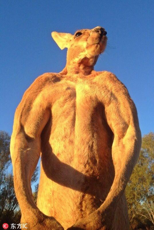 """澳大利亚网红袋鼠""""罗杰""""去世曾因一身肌肉成明星"""