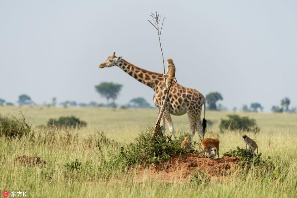 """乌干达小猴子意外""""骑""""长颈鹿""""搭"""