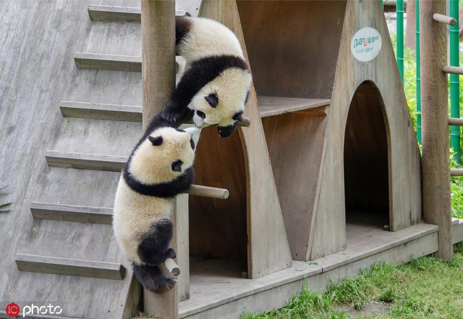 """汶川大熊猫萌萌哒姿势笑看""""愚蠢的"""