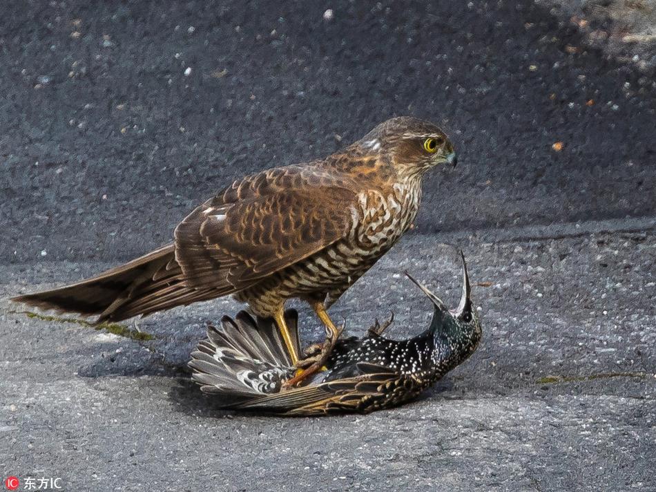 英国椋鸟惨遭雀鹰捕食 被踩脚底下