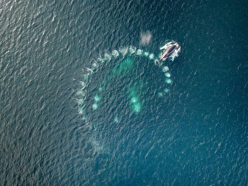 """罕见!英国一群座头鲸吐泡泡设""""陷阱"""