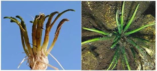 图3 Lobelia dortmanna和Isoetes australis照片(图片来源于网络)