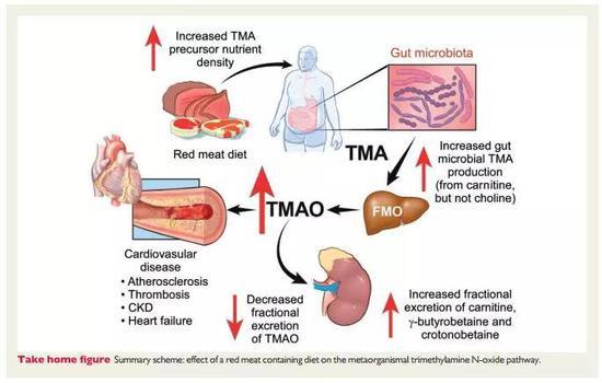 吃進去的紅肉通過腸道微生物的作用生成TMAO,進而影響心血管健康,並降低腎臟的排出 來源:European Heart Journal