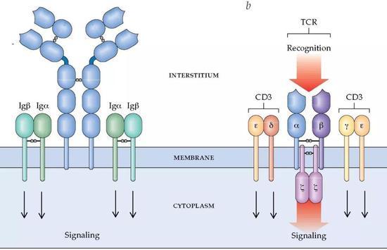 T细胞外面表受体