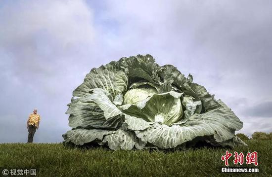 资料图:巨型卷心菜。
